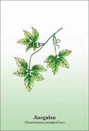 Jiaogulan- zioło długowieczności
